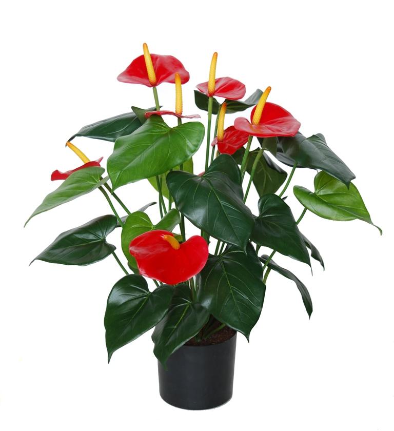 Anthurium w pot 50 cm Grn Red