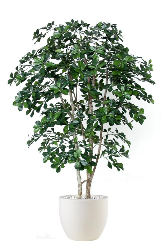 Buxifolia Natural Style 180cm