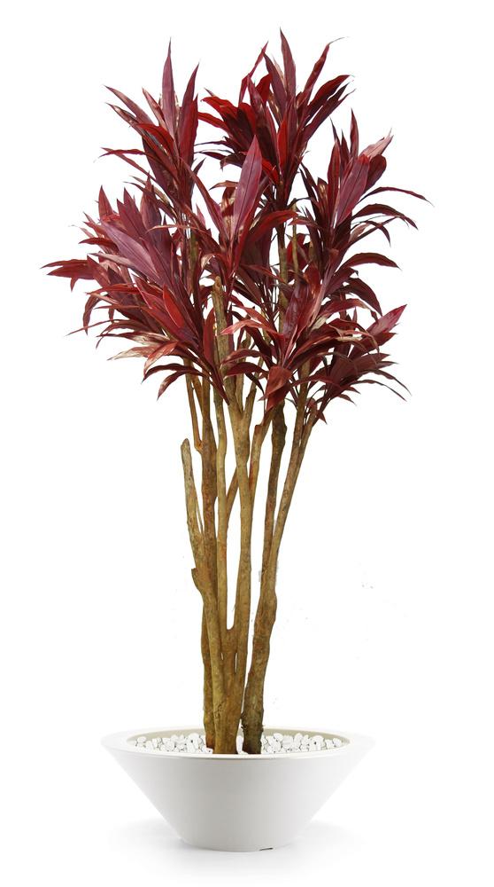 Cordyline Florida 260 cm Red