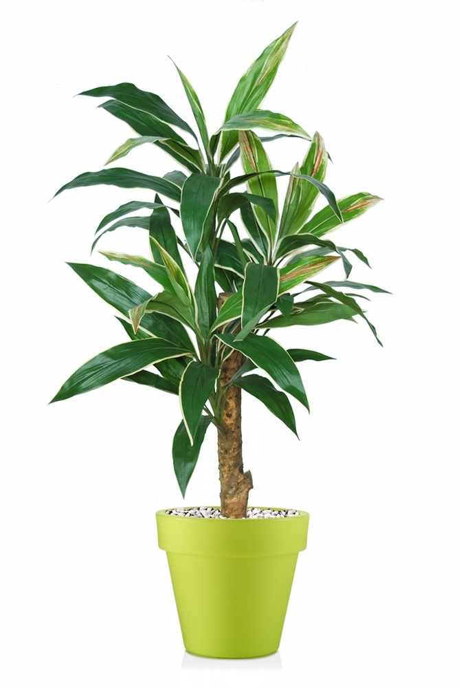 Cordyline Plant 120 cm