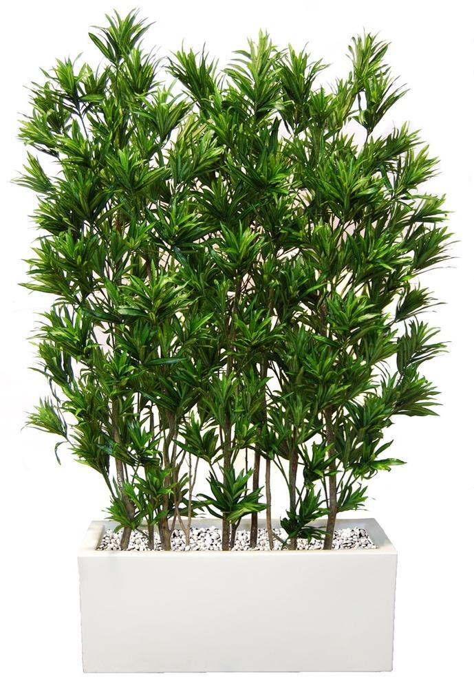 Dracaena Reflexa Fence 180cm Green