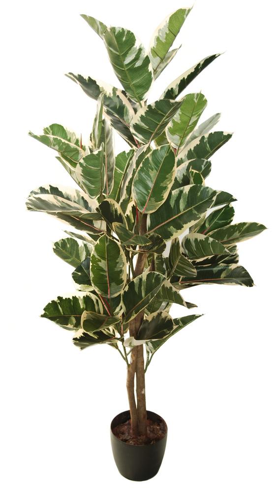 Ficus Elastica Basic 130 cm Variegated