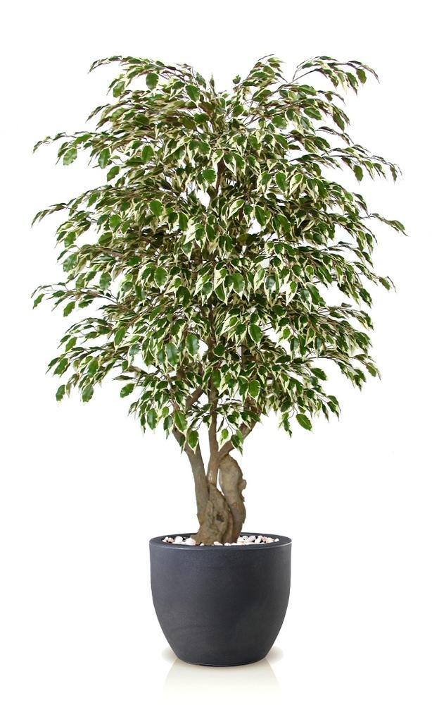 Ficus Golden Malabar 150cm Variegated