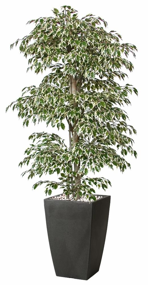 Ficus Golden Multistep 180 cm Variegated