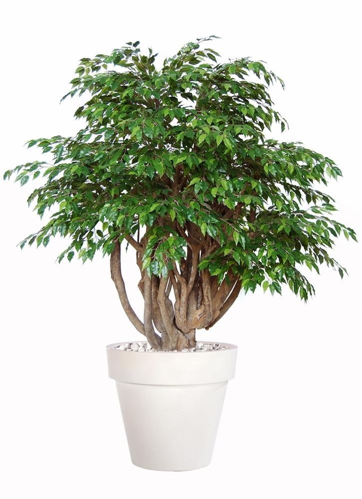 Ficus Golden Robusta  Lt Green