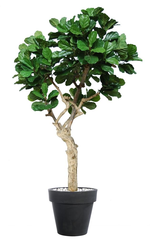 Ficus Lyrata Nidra