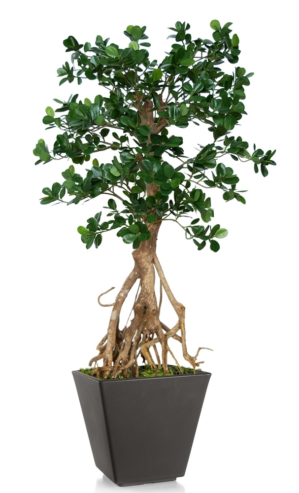 Ficus Panda Root Mini