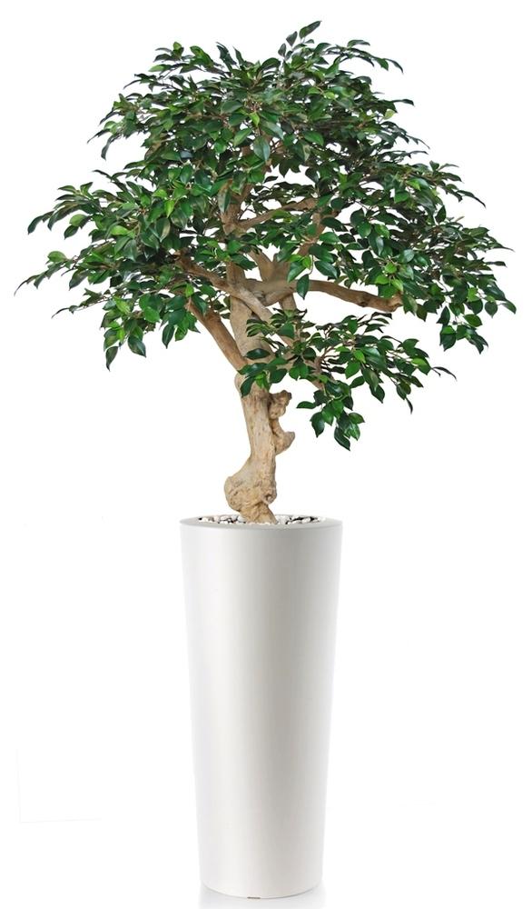 Ficus Retusa Crown
