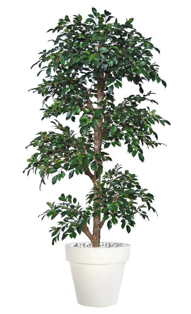 Ficus Retusa Multistep