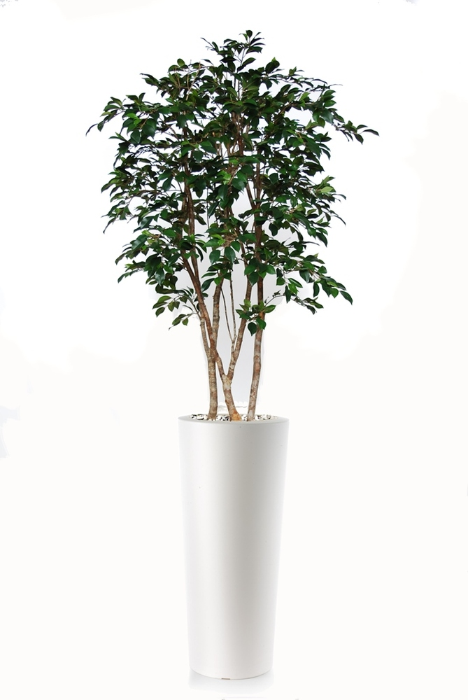Ficus Retusa Natural Style 200 cm Green
