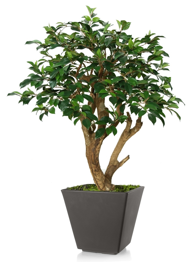 Ficus Retusa Robustina