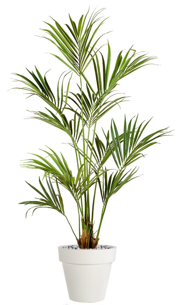 Kentia Palm 180 cm Green