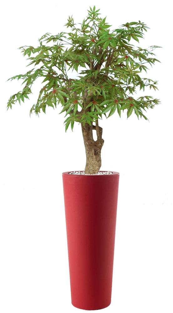 Maple Robustina 140 cm Multicolor