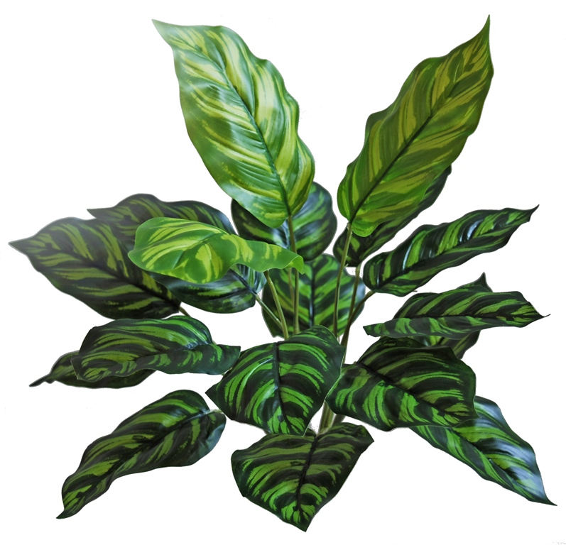 Maranta Bush 45 cm Green