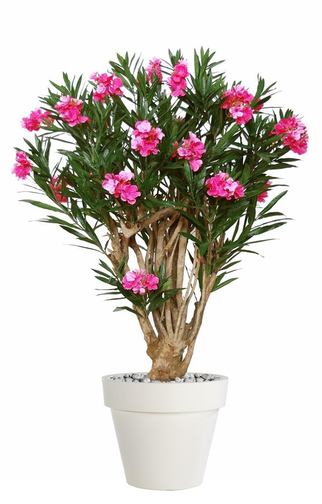 Oleander Robusta 180 cm Pink