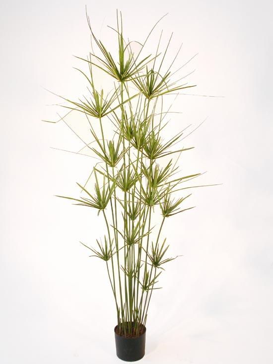 Papyrus Plant 160 cm Green w Pot
