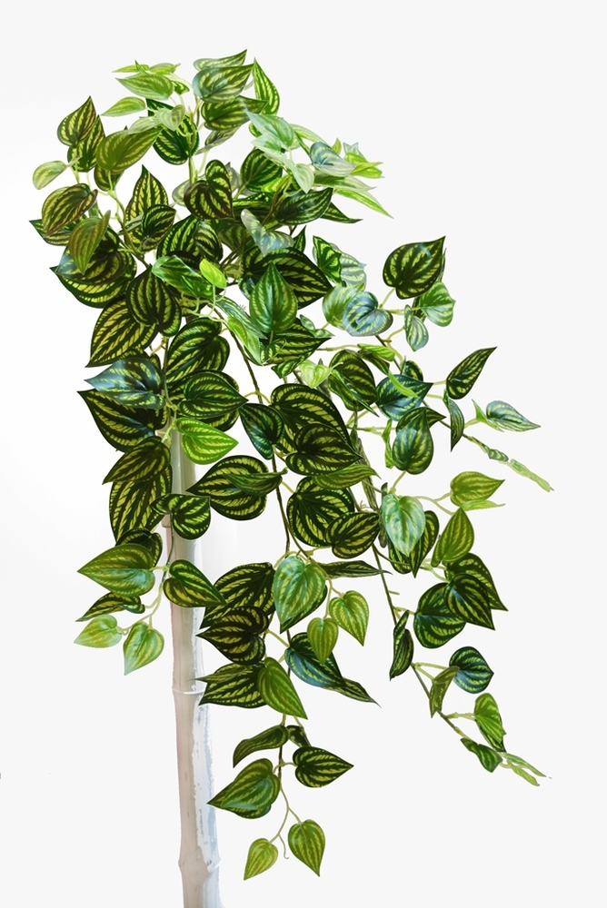 Peperomia Bush 90 cm Variegated