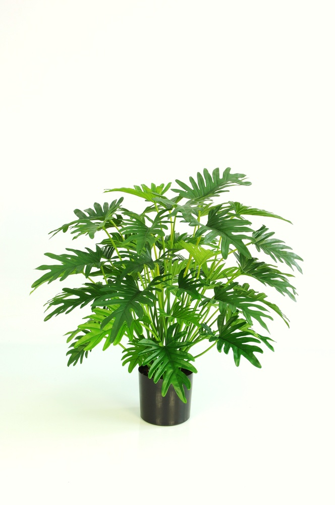 Philodendron Lux Plant wpot 75 cm Green