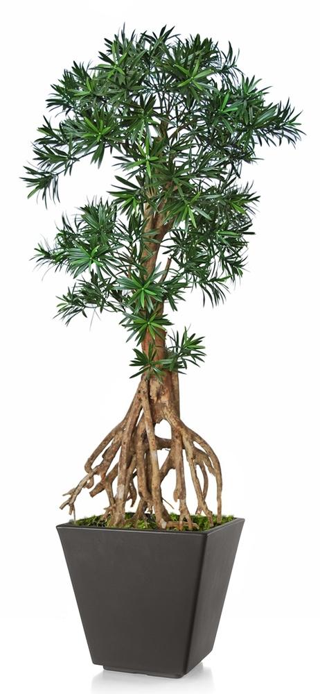 Podocarpus Root Mini