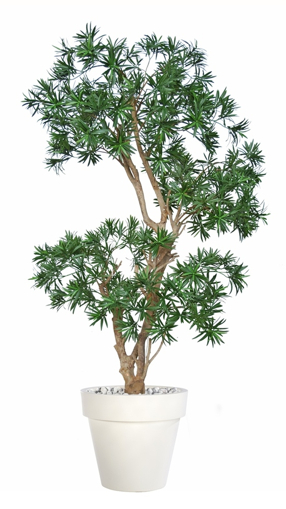 Podocarpus Stylish 170 cm Green