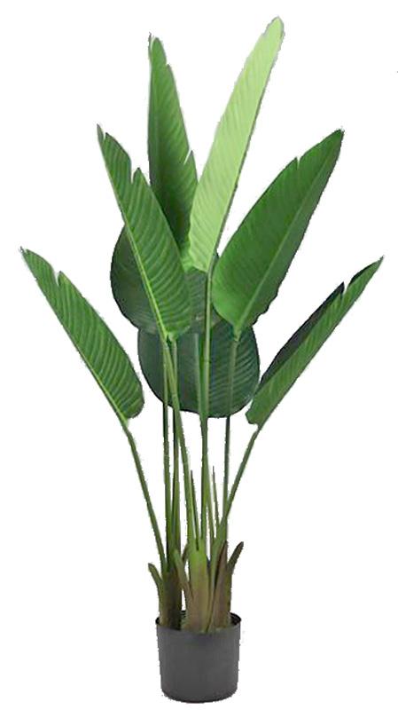 Strelizia Plant w pot 100 cm Green