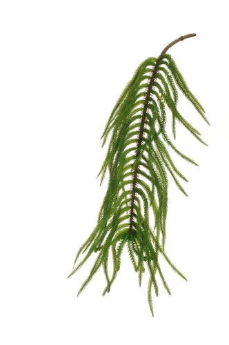 Arucaria verde
