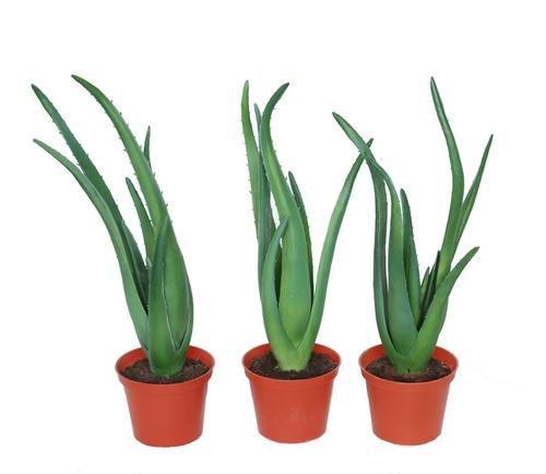 Aloe Vera w pot 40 cm Green