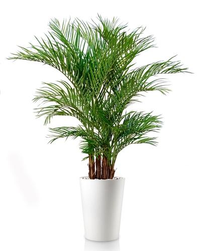 Areca Lux  Green