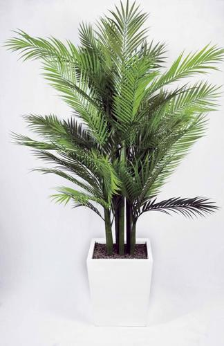 Areca palm pianta intera passionecretiva