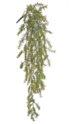 Asparagus Bush 110 cm Green