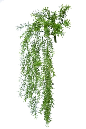 Asparagus Bush 60 cm Green