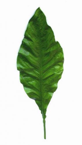 Asplenium_Nidus_Leaf_105_cm_Green_4202GRN