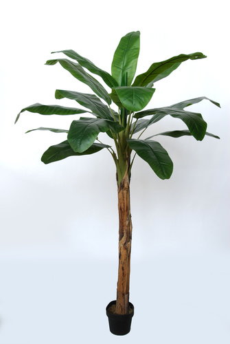Banana Tree w pot  200 cm Green