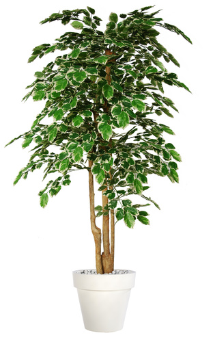 Beech Florida Topiary 200 cm Variegated