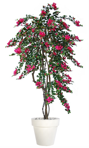 Bouganvillea Twisted Tree 240 cm Fuchsia