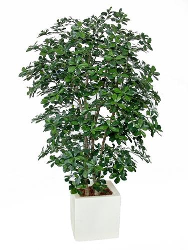 Buxifolia Boschetto 180 cm Green