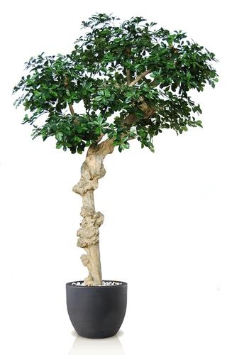 Buxifolia Nidra