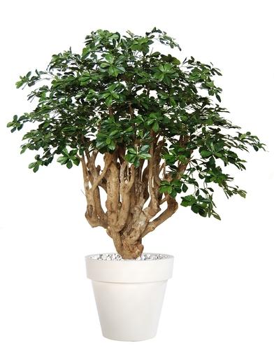 Buxifolia Robusta 180 cm Green