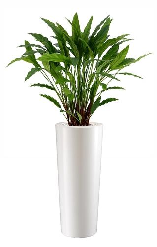Calathea 140 cm
