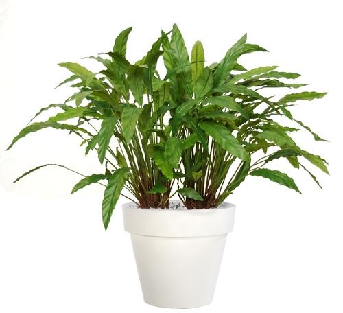 Calathea Bush Lux 100 cm Green