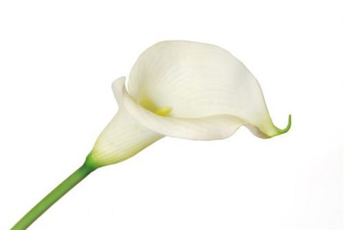 Calla_Large_80_cm_White