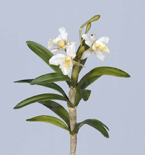 Cattleya_Rex_Pick_30_cm_White_1440346