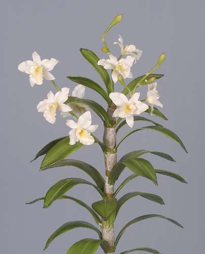 Cattleya_Rex_Plant_60_cm_White_1442346