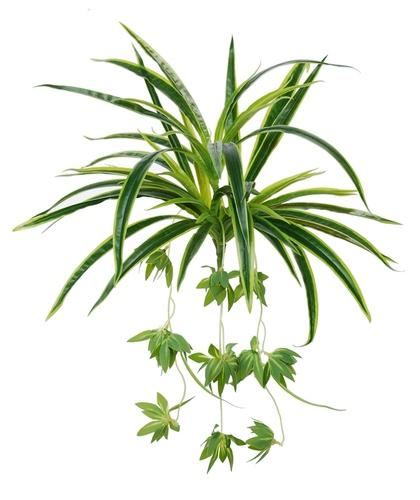 Chlorophytum 45 cm Green