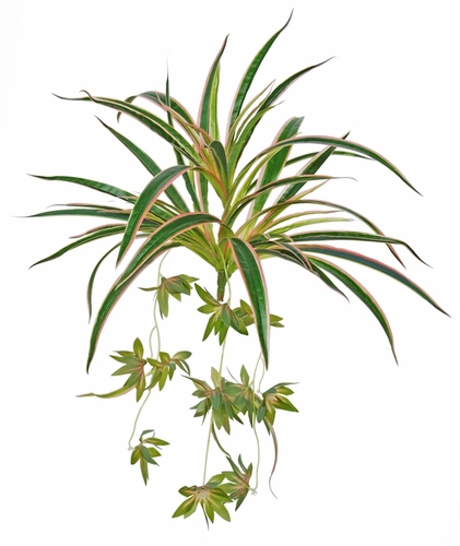 Chlorophytum 45 cm Green Red