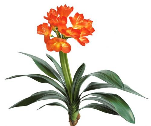 Clivia_50_cm_Orange_5278ORA
