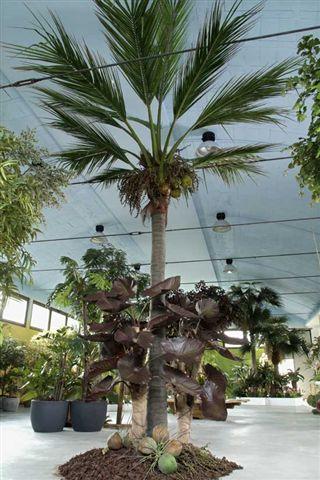 Coconut_Palm_580_cm_Green_4176GRN