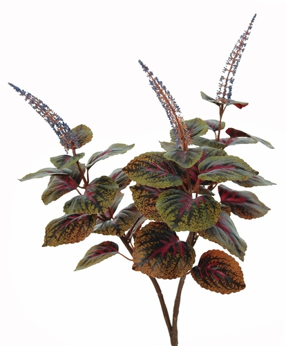 Coleus w Flowers 50 cm Green Purple