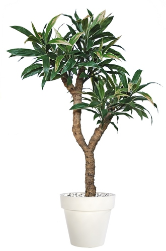 Cordyline Drago