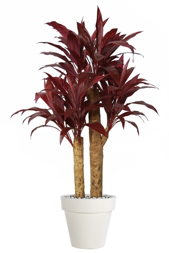 Cordyline Exotica  140 cm Red